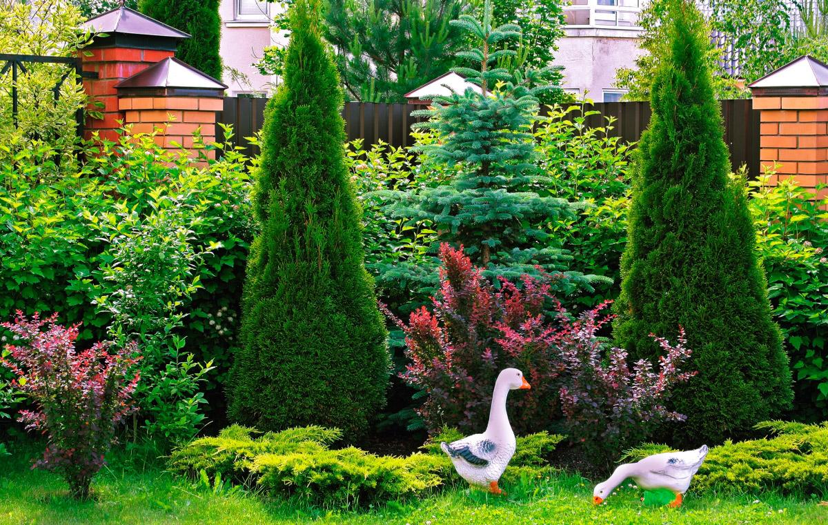 Туя или можжевельник - что лучше для сада? Как различить можжевельник и тую? Мастер-класс по хвойникам.