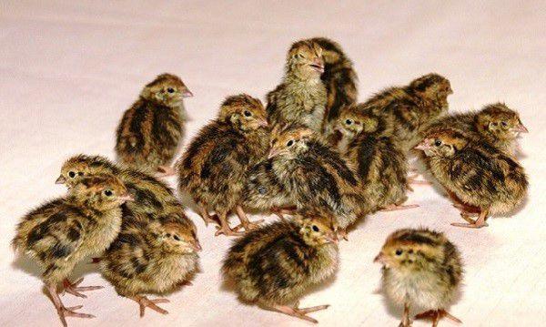 Маленькие птенцы перепелов также подвержены кокцидиозу