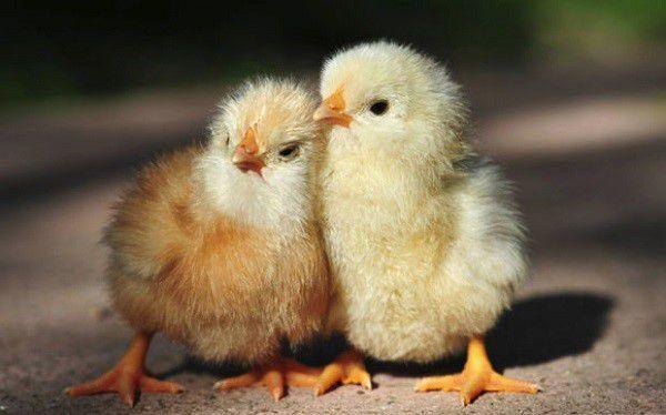 """Сохраните здоровье своим пернатым птенцам с помощью """"Байкокса"""""""