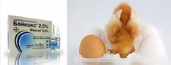 """Кокцидиозу подвержен в основном молодняк, поэтому позаботьтесь, чтобы """"байкокс"""" был в вашей ветеринарной аптечке с первых дней вылупления птенцов"""
