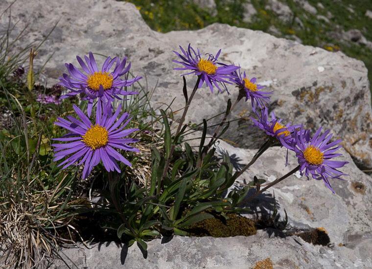 Астра альпийская голубая фото