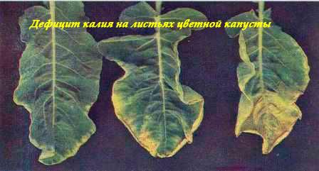 Дефицит калия на листьях цветной капусты