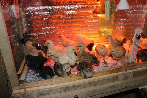 Почему цыплята расклевывают друг друга