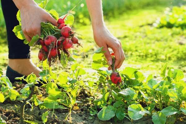 Уборка урожая редиски