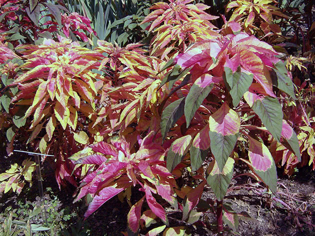 Амарант трехцветный / Amaranthus tricolor