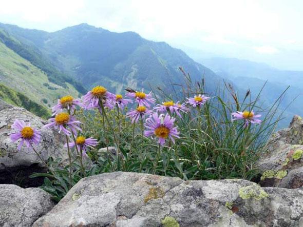 выращивание астры альпийской
