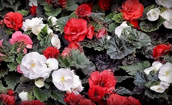 очаровательные соцветия махровой бегонии