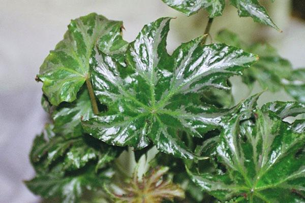 бегония диадема с зелеными глянцевыми листьями