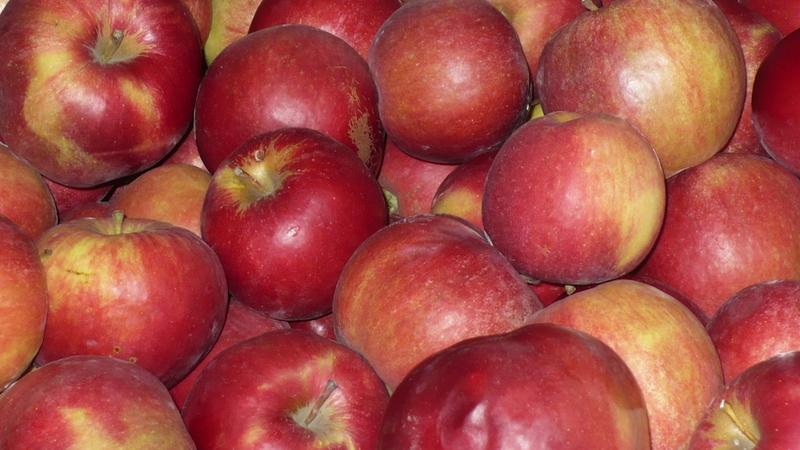 Характеристика яблони