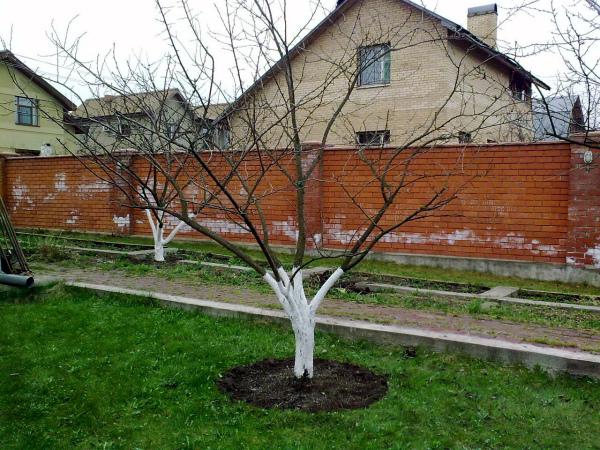 Уход за яблоней на дачном участке