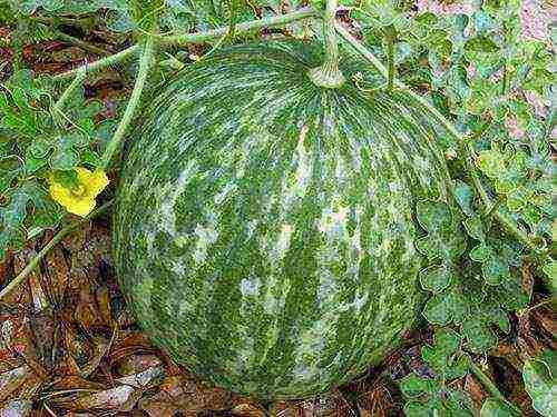 как подготовить семена арбуза к посадке в открытый грунт