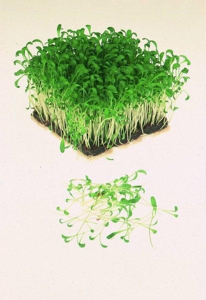 Кресс-салат и его ростки