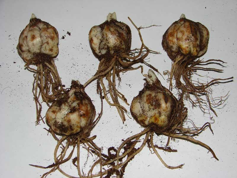 луковицы амазонской лилии