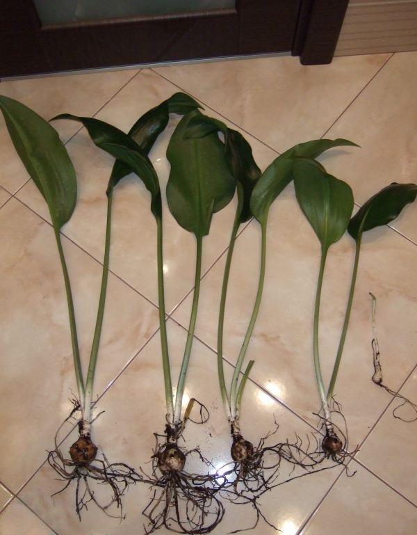 луковицы эухариса с листьями