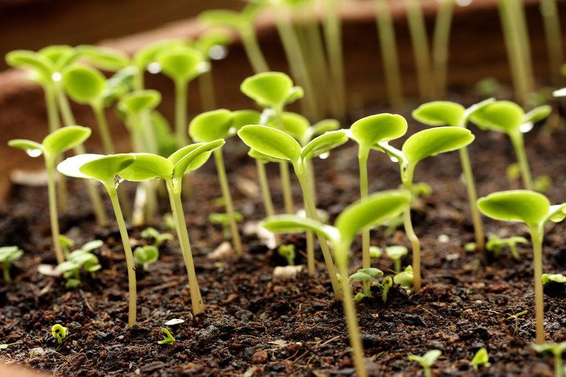 Как правильно подготовить зерна фасоли перед выращиванием