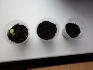 Как прорастить семена фасоли в домашних условиях для последующей посадки в грунт
