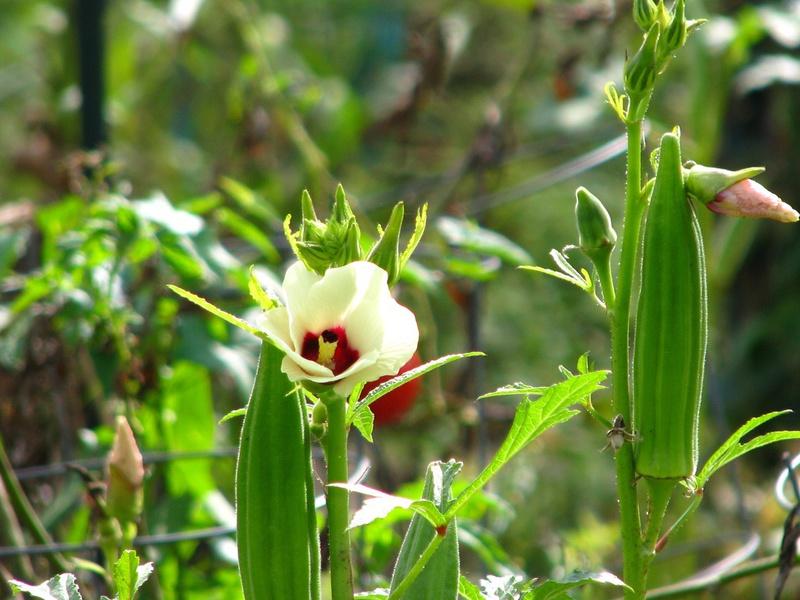 Особенности произрастания бамии