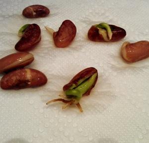 Способы проращивания фасоли