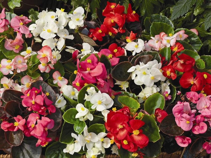 Как вяглядит цветок бегония
