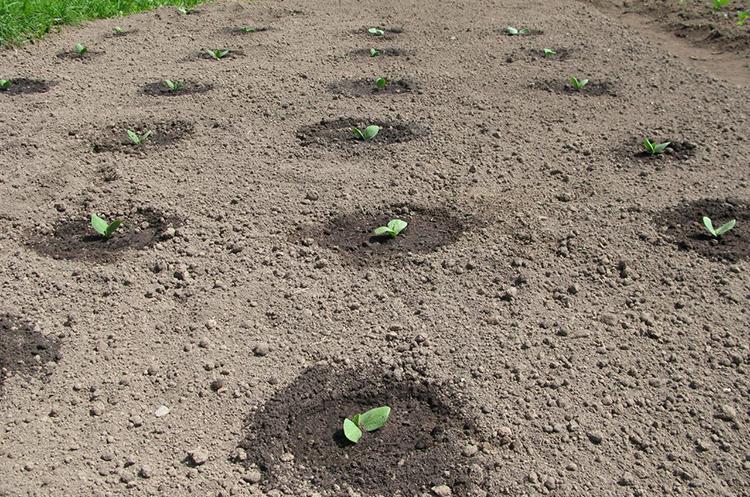 Выращивание пекинской капусты: основные правила