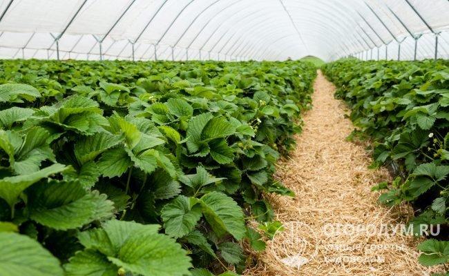 Мощные кусты земляники «Гигантелла» прекрасно развиваются и плодоносят в условиях защищенного грунта