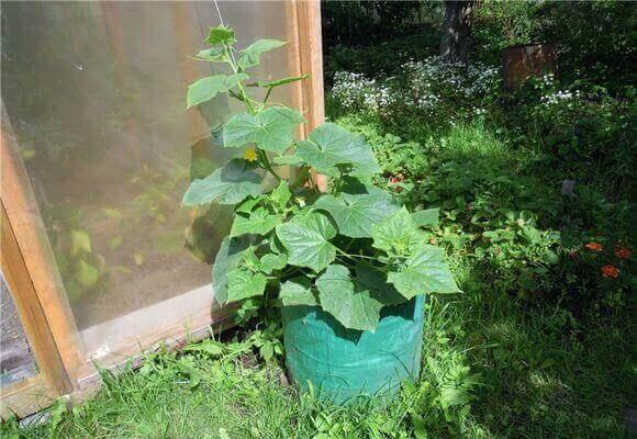 растение в бочке