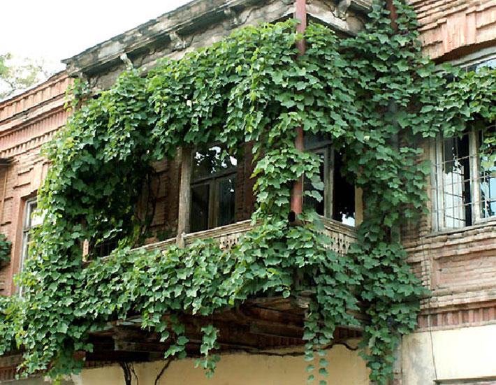 Девичий виноград особенности оформления балконов квартир