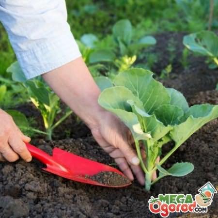 Правильная подкормка капустной рассады