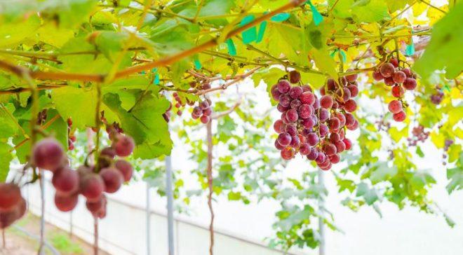 Насколько продуктивно пройдет зимовка, настолько проще работать с виноградом весной