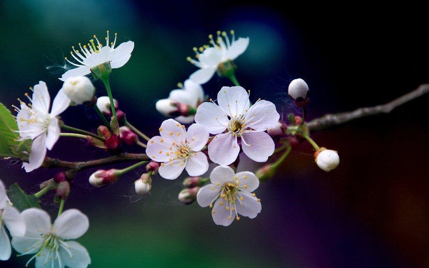Войлочная вишня цветет, но не плодоносит