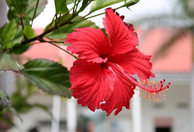 Как посадить китайскую розу — Цветы365