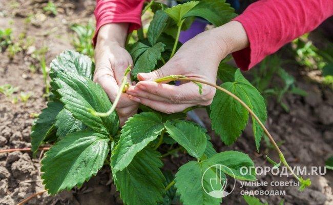 У кустов, предназначенных для размножения пасынками, удаляют все цветоносы, а для получения урожая ягод – обрезают усы