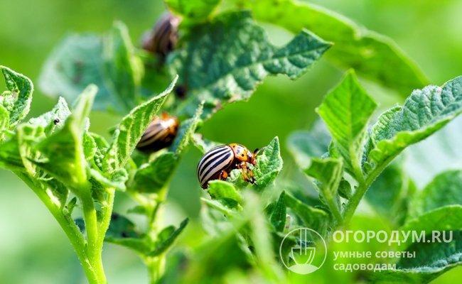 Как и большинство сортов картофеля, «Ред Скарлетт» страдает от распространенных напастей: медведки и колорадского жука
