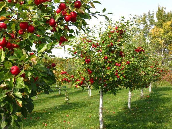 Между рослыми яблонями нужно соблюдать интервал 5,5 м