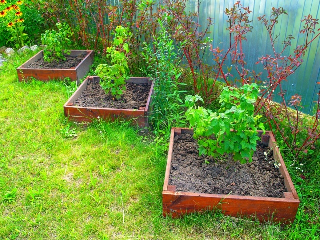 Посадка смородины саженцами – как действовать садоводу?