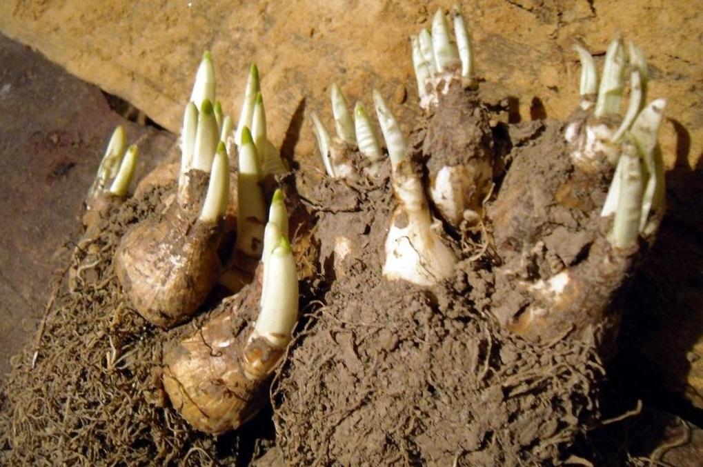 Выкапывание луковиц