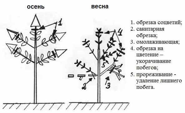 Гортензия метельчатая Лаймлайт- описание, посадка и уход