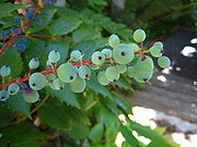 Green blue berries Orcas.JPG