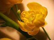 Mahonia aquifolium NRM.jpg