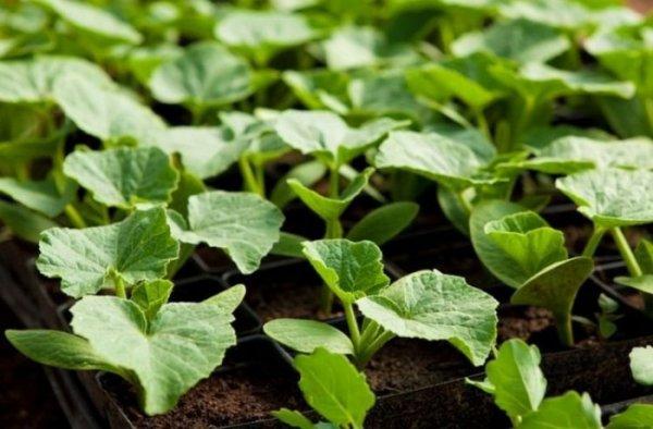 Кабачки на рассаду в 2019 году: когда лучше сажать кабачки на рассаду, высаживать в теплицу или в открытый грунт