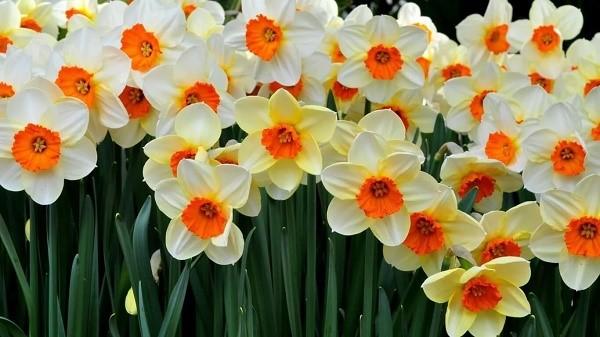 Многообразие сортовых разновидностей интересующего нас вида цветов обуславливает его популярность, ведь каждый может найти себе наиболее подходящий по внешнему виду нарцисс