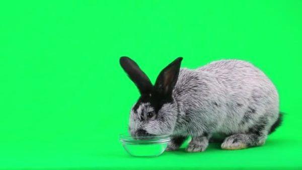 Чистая вода нужна кролику не меньше, чем пища