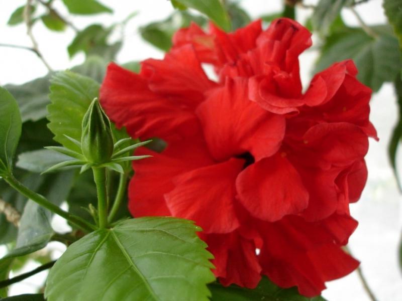 Как заставить цвести гибискус в домашних условиях — Все цветы