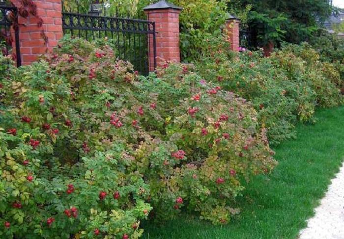 Отцветая, «Ханса»образует крупные коробочки плодов, правильной округлой формы. Они украшают кустарник почти всю зиму, пока птицы не склюют семена.