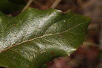 Mahonia aquifolium 2772.JPG