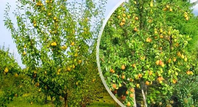 Ранннеспелая груша Лада в наших садах