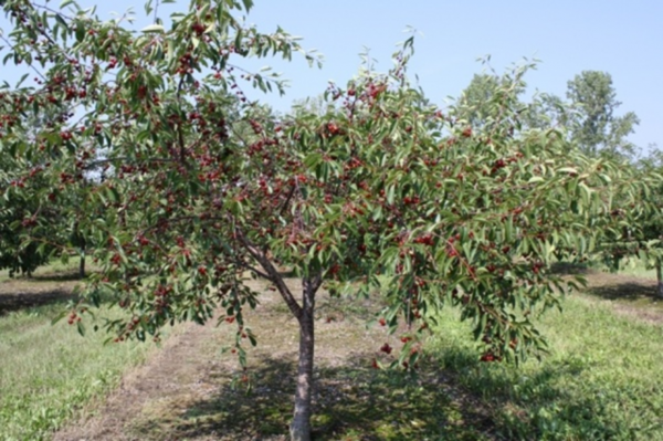 Черешня василиса описание сорта опылители