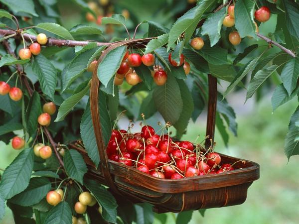 Что лучше вишня или черешня. Чем отличается вишня от черешни, в чем разница: сравнение