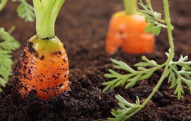 Как часто и чем поливать морковь в открытом грунте