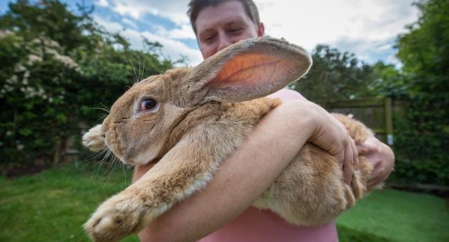 Ожиревший кролик